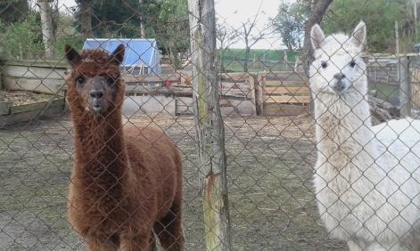 Lamas in Nienhagen bei Hohen Demzin